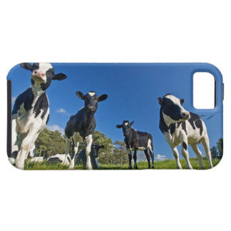 Cows feeding on pasture iPhone 5 cover