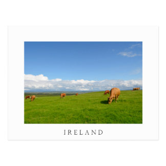 Cows grazing in a meadow in Ireland white postcard