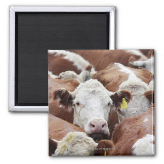 Cows in a corral magnet