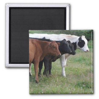 Cows in a Row Magnet