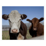 Cows in fenced area poster