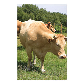 Cows in field, El Camino, Spain 2 Stationery