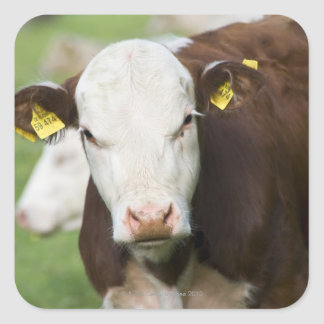 Cows in pasture, close-up square sticker