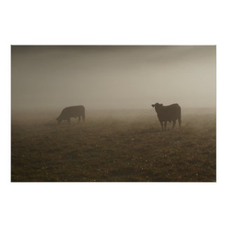 Cows in the Mist Photo Poster
