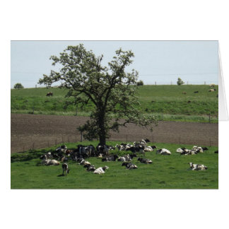 Cows Laying under a Tree on a Sunny Day Photo Card