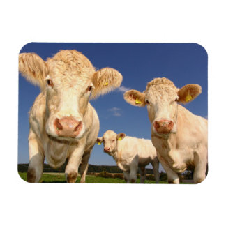 Cows Magnet