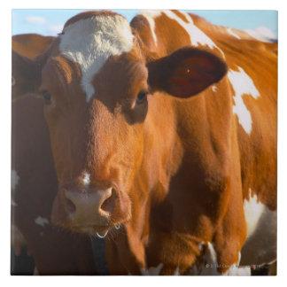Cows on farm tile
