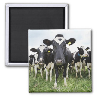 Cows standing in a row looking at camera magnet