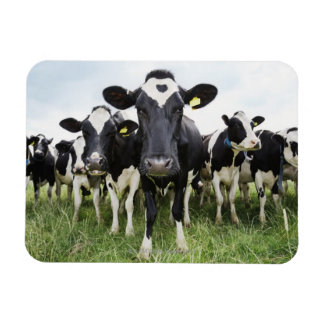 Cows standing in a row looking at camera magnets
