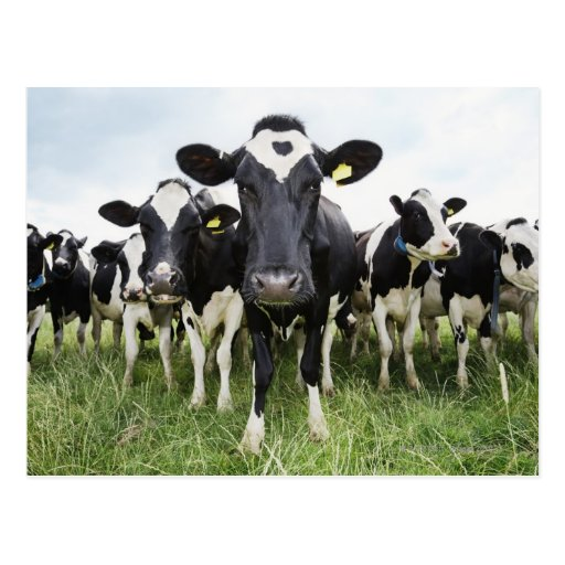 Cows standing in a row looking at camera post cards