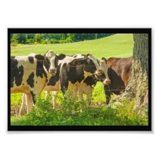 Cows Under Tree In Farm Field, Maine Photo Print