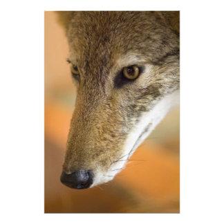 Coyote closeup photo print