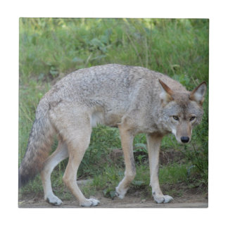 Coyote Collection Ceramic Tile