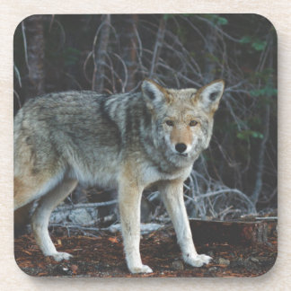 Coyote Hunting Coasters