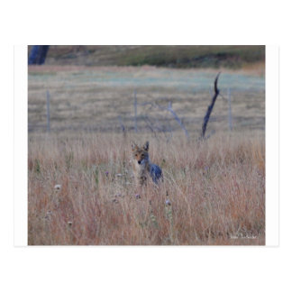 Coyote in Wind Cave National Park, South Dakota Postcard