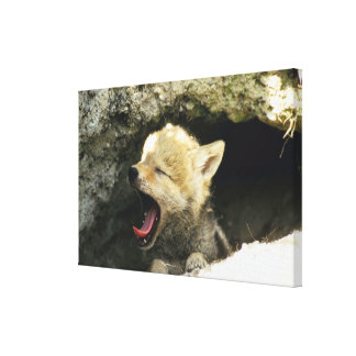 Coyote pup yawning canvas print