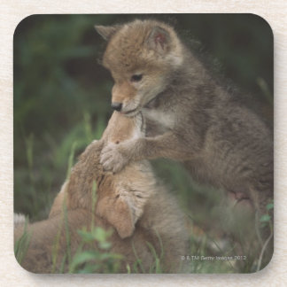 Coyote Puppies Wrestling (Canis Latrans) Drink Coaster