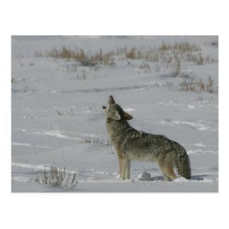 Coyote Wildlife Series 6 Postcard