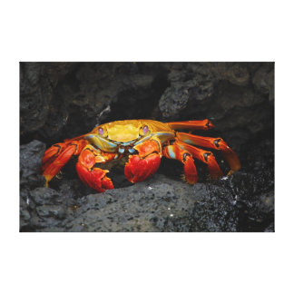 Crab Grapsus Grapsus From The Galapagos Islands Canvas Print