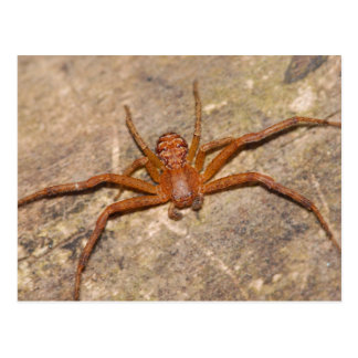 Crab Spider. Postcard
