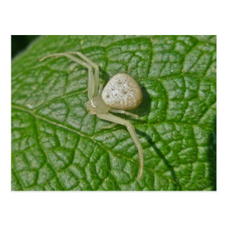 Crab Spider Postcard
