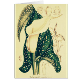 Cream Calla Lily Card