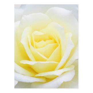 Creamy rose postcard