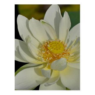 Creamy Water Lily.JPG Postcard