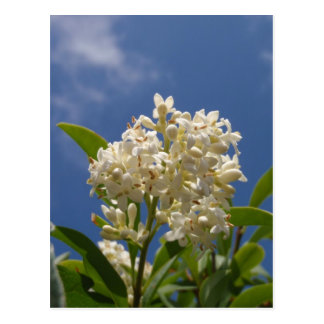 Creamy White Blossom Postcard