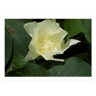 Creamy White Cotton Plant Blossom Postcard
