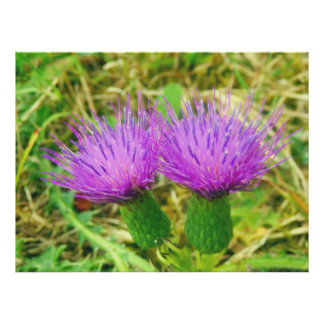 Creeping or Field Thistle Poster