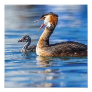 Crested grebe, podiceps cristatus, duck and baby card