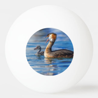 Crested grebe, podiceps cristatus, duck and baby ping pong ball