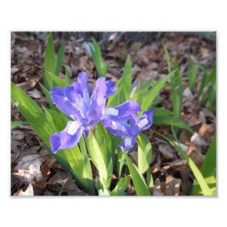 Crested Iris Photograph
