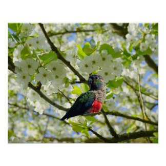 Crimson Bellied Parakeet Poster