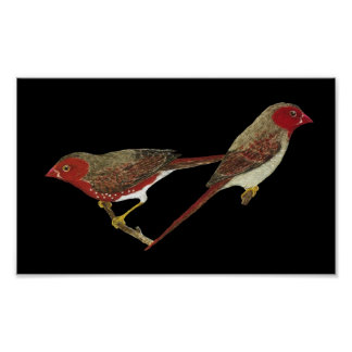 Crimson Finch (white-bellied) Pair Poster