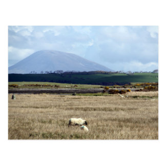 Croagh Patrick watches over the flock Postcard