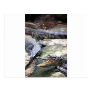 Crocodile jaws wide open postcard