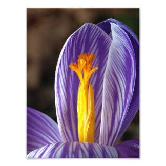 Crocus Blossom - Fine Art Print Photo