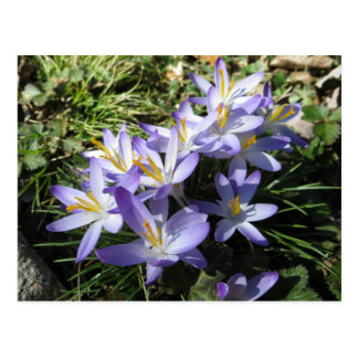 Crocus Bundle Postcard