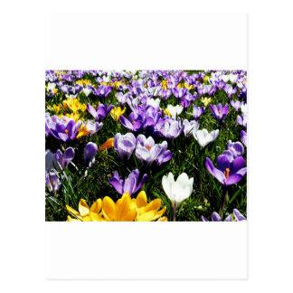 Crocus Flower Postcard