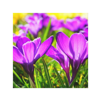 Crocus Flowers Canvas Print