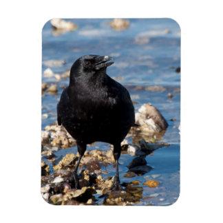 Crow Wading in Salt Water at Twanoh State Park Rectangular Photo Magnet