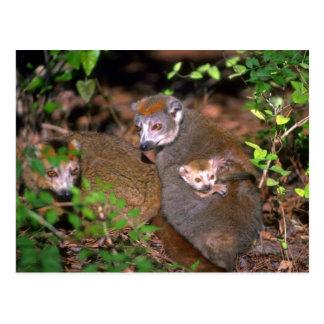 Crowned Lemur pair with infant Postcard