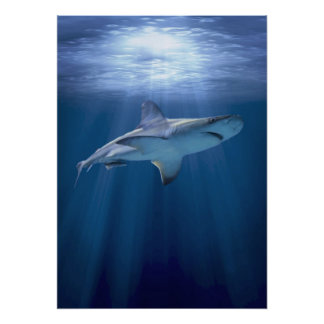 Cruising Shark Posters