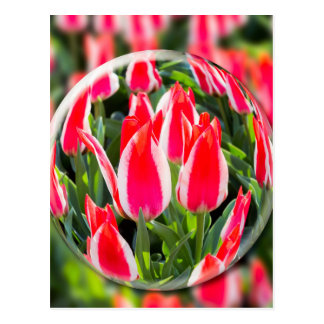 Crystal ball with red-white tulips in field postcard