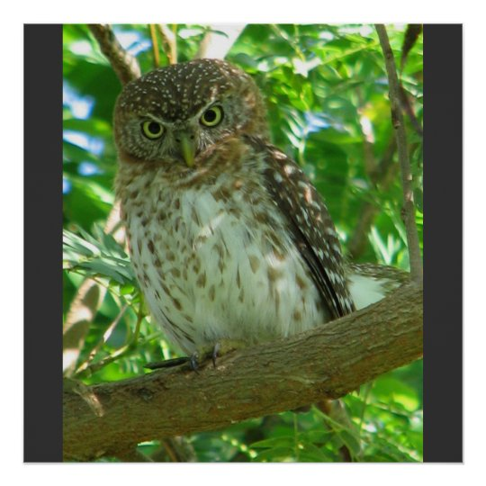 Cuban Pygmy Owl Animal Feather Tree Nature Destiny Poster