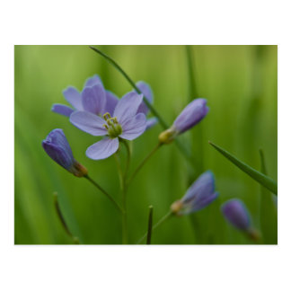 Cuckoo Flower Postcard