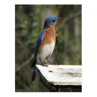 Curious Bluebird Postcard