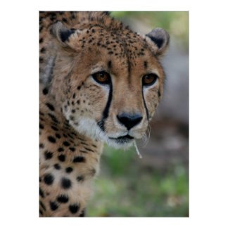 Curious Cheetah Poster